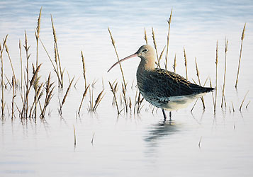 curlew spring tide print Bird Art by Chris Lodge