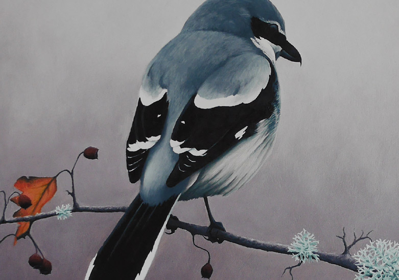 Great Grey Shrike Print by Chris Lodge