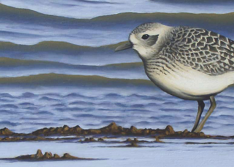 Grey Plover Print by Chris Lodge