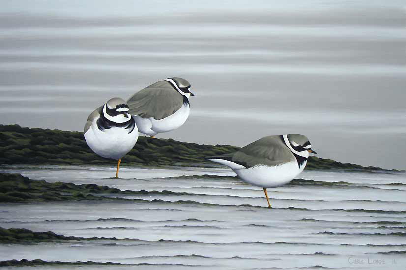 Ringed Plover Print - A Limited Edition Print By Chris Lodge