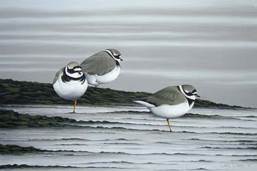 ringed plover Bird Print by Chris Lodge