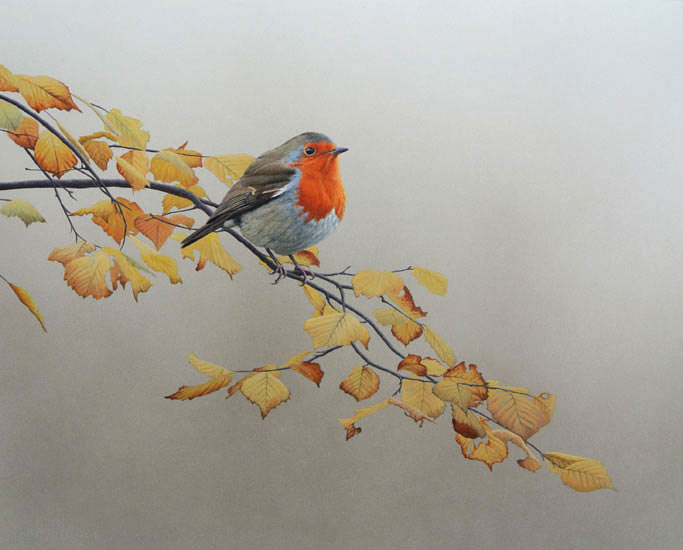 Robin in Autumn Beech Print By artist Chris Lodge