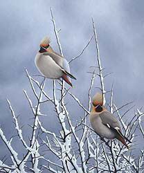 Snowy Waxwing Bird Print by Chris Lodge