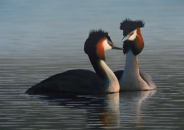 Great Crested Grebes, a Limited Edition Fine Art Print of an original oil painting portrait of birds by bird artist Chris Lodge