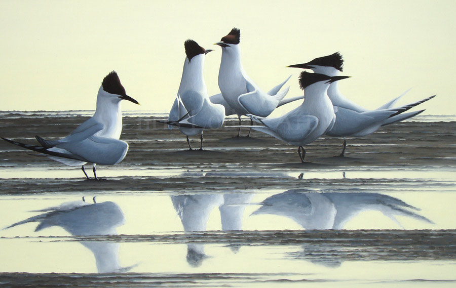 Sandwich terns Limited Edition Print by Chris Lodge Artist