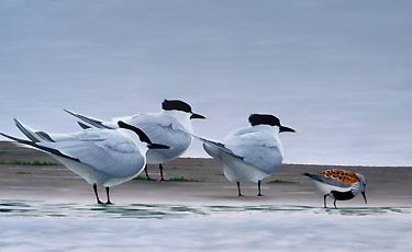 Sandwich Terns and Dunlin, a Limited Edition Print of an original oil painting by bird artist Chris Lodge