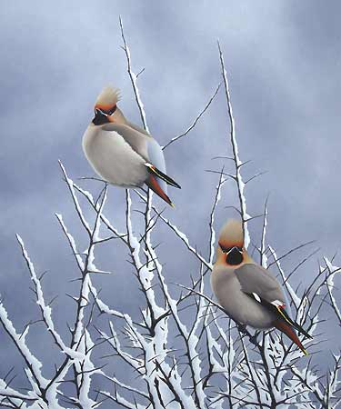 Waxwings in Snowy Blackthorn, a Limited Edition Print of an original oil painting by bird artist Chris Lodge